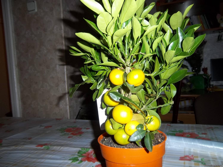 Апельсиновое дерево: уход в 57